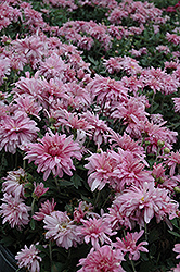 Prairie Lavender Chrysanthemum (Chrysanthemum 'Prairie Lavender') at Shelmerdine Garden Center