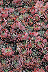 Purple Beauty Hens And Chicks (Sempervivum 'Purple Beauty') at Shelmerdine Garden Center