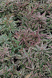 Variegated Creeping Phlox (Phlox x procumbens 'Variegata') at Shelmerdine Garden Center