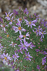 Dwarf Rhone Aster (Aster sedifolius 'Nanus') at Shelmerdine Garden Center