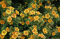 Mango Tango Potentilla (Potentilla fruticosa 'Mango Tango') at Shelmerdine Garden Center