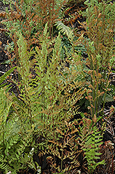 Royal Fern (Osmunda regalis) at Shelmerdine Garden Center