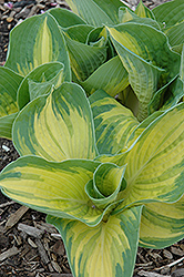 Great Expectations Hosta (Hosta 'Great Expectations') at Shelmerdine Garden Center
