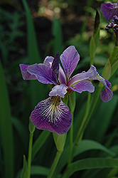 Blue Flag Iris (Iris versicolor) at Shelmerdine Garden Center