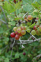 Pixwell Gooseberry (Ribes 'Pixwell') at Shelmerdine Garden Center