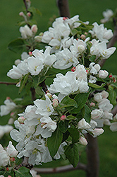Norland Apple (Malus 'Norland') at Shelmerdine Garden Center