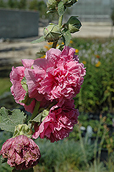 Chater's Double Pink Hollyhock (Alcea rosea 'Chater's Double Pink') at Shelmerdine Garden Center