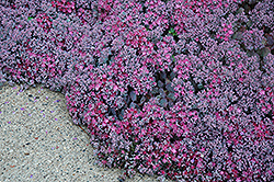 Lidakense Stonecrop (Sedum cauticola 'Lidakense') at Shelmerdine Garden Center