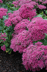 Neon Stonecrop (Sedum spectabile 'Neon') at Shelmerdine Garden Center