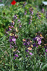 Jenny Brook Wallflower (Erysimum 'Jenny Brook') at Shelmerdine Garden Center