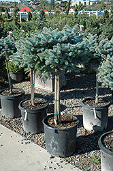 Globe Blue Spruce (tree form) (Picea pungens 'Globosa (tree form)') at Shelmerdine Garden Center