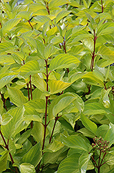 Prairie Fire Dogwood (Cornus alba 'Prairie Fire') at Shelmerdine Garden Center