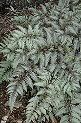 Silver Falls Painted Fern (Athyrium nipponicum 'Silver Falls') at Shelmerdine Garden Center