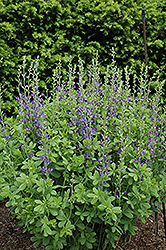 Blue Wild Indigo (Baptisia australis) at Shelmerdine Garden Center