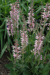 Eveline Sage (Salvia pratensis 'Eveline') at Shelmerdine Garden Center