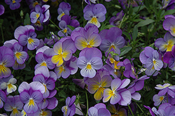 Rebel Blue and Yellow Pansy (Viola 'Rebel Blue and Yellow') at Shelmerdine Garden Center