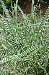 Rigoletto Maiden Grass (Miscanthus sinensis 'Rigoletto') at Shelmerdine Garden Center