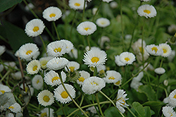 Rominette White English Daisy (Bellis perennis 'Rominette White') at Shelmerdine Garden Center