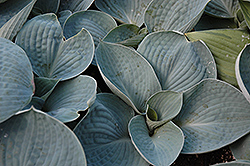 Love Pat Hosta (Hosta 'Love Pat') at Shelmerdine Garden Center
