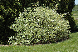 Silver and Gold Dogwood (Cornus sericea 'Silver and Gold') at Shelmerdine Garden Center