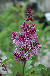 Royalty Lilac (Syringa x prestoniae 'Royalty') at Shelmerdine Garden Center
