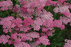 Pink Grapefruit Yarrow (Achillea 'Pink Grapefruit') at Shelmerdine Garden Center