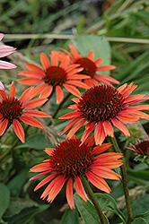 Big Sky Sundown Coneflower (Echinacea 'Big Sky Sundown') at Shelmerdine Garden Center