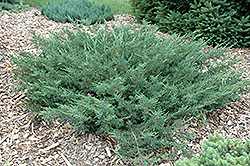 Alpine Carpet Juniper (Juniperus communis 'Alpine Carpet') at Shelmerdine Garden Center