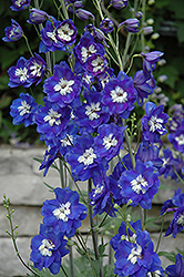 Blue Bird Larkspur (Delphinium 'Blue Bird') at Shelmerdine Garden Center