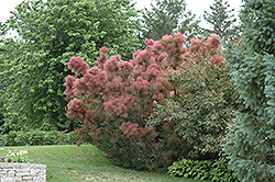 Royal Purple Smokebush (Cotinus coggygria 'Royal Purple') at Shelmerdine Garden Center