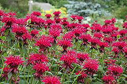Raspberry Wine Beebalm (Monarda 'Raspberry Wine') at Shelmerdine Garden Center