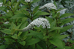 Gooseneck Loosestrife (Lysimachia clethroides) at Shelmerdine Garden Center