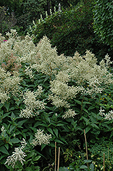 White Fleeceflower (Persicaria polymorpha) at Shelmerdine Garden Center