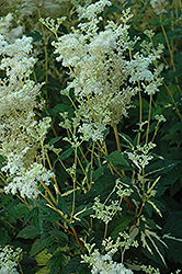 Variegated Queen Of The Meadow (Filipendula ulmaria 'Aureovariegata') at Shelmerdine Garden Center