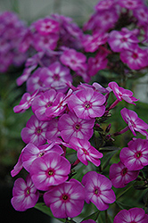 Pixie Miracle Garden Phlox (Phlox paniculata 'Pixie Miracle') at Shelmerdine Garden Center