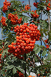 Russian Mountain Ash (Sorbus aucuparia 'Rossica') at Shelmerdine Garden Center