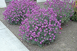 Bowles Mauve Wallflower (Erysimum 'Bowles Mauve') at Shelmerdine Garden Center