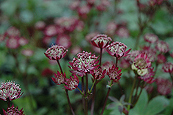 Ruby Wedding Masterwort (Astrantia major 'Ruby Wedding') at Shelmerdine Garden Center