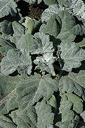 Silver Sage (Salvia argentea 'Artemis') at Shelmerdine Garden Center