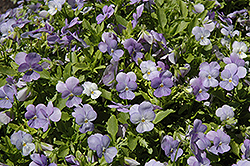 Endurio Sky Blue Martien Pansy (Viola cornuta 'Endurio Sky Blue Martien') at Shelmerdine Garden Center
