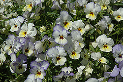 Endurio Blue Yellow with Purple Wing Pansy (Viola cornuta 'Endurio Blue Yellow Purple Wing') at Shelmerdine Garden Center
