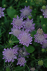 Misty Butterflies Dwarf Pincushion Flower (Scabiosa columbaria 'Misty Butterflies') at Shelmerdine Garden Center