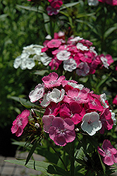 Harlequin Sweet William (Dianthus barbatus 'Harlequin') at Shelmerdine Garden Center