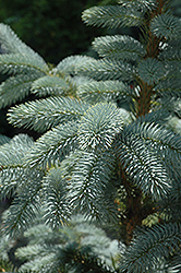 Crystal Blue Spruce (Picea pungens 'Crystal Blue') at Shelmerdine Garden Center