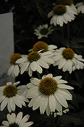 PowWow White Coneflower (Echinacea purpurea 'PowWow White') at Shelmerdine Garden Center