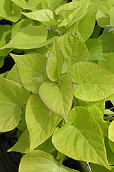 Sweetheart Light Green Sweet Potato Vine (Ipomoea batatas 'Sweetheart Light Green') at Shelmerdine Garden Center