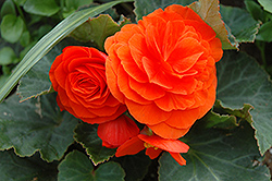 Nonstop® Golden Orange Begonia (Begonia 'Nonstop Golden Orange') at Shelmerdine Garden Center