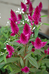 Intenz Celosia (Celosia 'Intenz') at Shelmerdine Garden Center