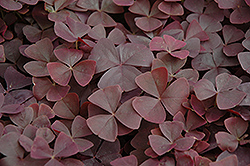 Charmed Velvet Shamrock (Oxalis 'Charmed Velvet') at Shelmerdine Garden Center