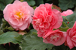 Nonstop® Pink Begonia (Begonia 'Nonstop Pink') at Shelmerdine Garden Center